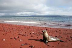 Sea Lion at Playa Roja - Rabida Island, Galapagos, Ecuador Isla Galapagos, Galapagos Islands, Green Sand Beach, Beach Pink, New Zealand Image, New Zealand Beach, Maldives Beach, Equador, Argentine