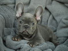 I want a blue frenchie so bad!