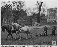 Victory Garden Program. Secretary Plowing Boston Common 04/11/1944.