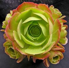 Aeonium canariense    Commonly called the 'Tree Aeonium', this beauty grows to 1m tall with rosettes to 20cm wide. The bright green leaves become tinged with red when grown in the spring sun. Cream/yellow conical flower heads in spring.