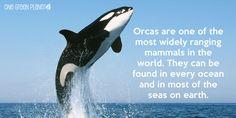 orcas - Google Search