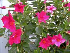 dipladenia plant | Full size picture of Mandevilla, Dipladenia 'Red Riding Hood ...