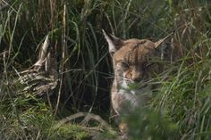 Eurasian lynx/bobcat, Lynx lynx, resting/sleeping between tufts of grass on a sunny summers day.