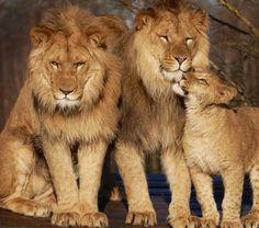 lions - family portrait 2 by Ella C Sap Via Flickr: