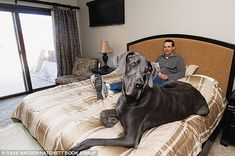 Great Dane Giant George, the world's biggest dog, weighs 230 lb!