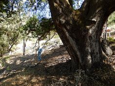 Big Oak on the cut of an 1875 Stagecoach Road. Dave is standing on the ~1875 stage road from Healdsburg to Pine Flat with one of the biggest oaks on the Mayacamas Mtns Sanctuary. The large tree is growing on the road-cut, and thus it Is the age of the road or younger.