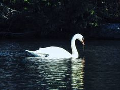 #Swan on the #pond  #Nikon #P900 @nikonusa  Camera Used: Nikon COOLPIX P900 Digital Camera with 83x 2000mm Optical Zoom . Check it out on Amazon at http://amzn.to/1NXLwLg  Photo processed with #Adobe #Lightroom . Check it out on Amazon at http://amzn.to/1NHUI4x