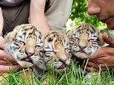 sweet dreams Tiger Cubs, Big Cats, Sweet Dreams, Tigers, Animals, Animais, Animales, Animaux, Animal