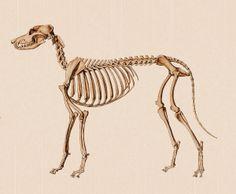 Dog_anatomy_lateral_skeleton_view Mr Evil, Dog Chart, Dog Anatomy, Dog Skeleton, Animal Skeletons, Ghost Stories, Skull And Bones, Pet Health, Dog Days