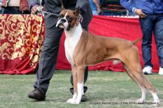 Dog Show, Boxers, Dog Pictures, Dog Breeds, Dogs, Animals, Image, Animales, Pictures Of Dogs