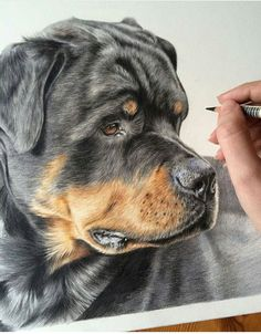 Rocco the Rottweiler is still one of my favourite portraits, I love it when I get the chance to create an interesting composition! Realistic Pencil Drawings, 3d Drawings, Animal Drawings, Colored Pencil Artwork, Color Pencil Art, Crayons Pastel, Watercolor Canvas, Dog Paintings, Dog Portraits