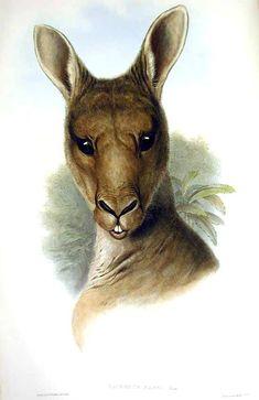 Animal-Australia-Kangaroo-Macropus-giganteus.jpg (550×848)