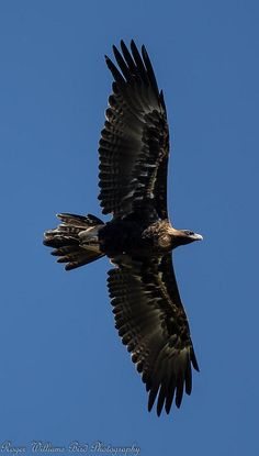 Wedge-tailed Eagle (Aquila audax)   Flickr - Photo Sharing!