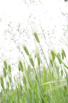 스피카, 감성, 보리, 자연, 식물
