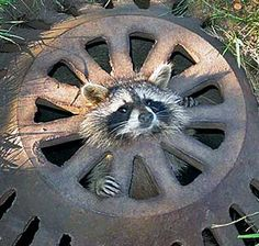 Image: A baby raccoon stuck in a storm drain (© Caters News Agency)