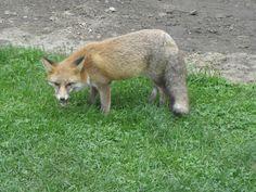 Αλεπού στην Ι.Μ.Φιλοθέου Fox in Monastery Filotheou