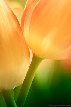 Tulips...my favorite. Just bought myself a bunch of yellow tulips and then saw this pin by Holly. Thanks Holly