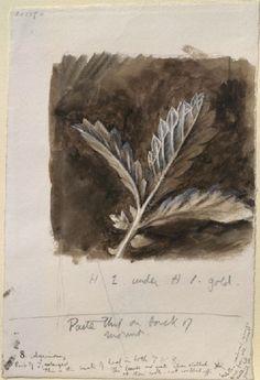 Ruskin, John - Finished Study of Agrimony Leaves