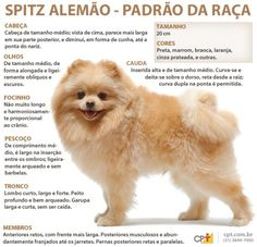 Padrão da raça Spitz Alemão What Dogs, All Dogs, Animals And Pets, Cute Animals, Pet Paradise, German Spitz, Mini Dogs, Pet Day, Pet Furniture