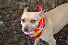 SAFE - 03/10/15 --- Staten Island Center  MISSY - A1029282  FEMALE, TAN, PIT BULL / POMERANIAN, 6 yrs OWNER SUR - EVALUATE, NO HOLD Reason PERS PROB  Intake condition EXAM REQ Intake Date 03/02/2015,    Main Thread: https://www.facebook.com/photo.php?fbid=971211839558362