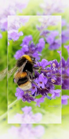 Busy Bee on Lavender. #Bee #Bees #BumbleBee #Insect #Insects #Lavender #Macro