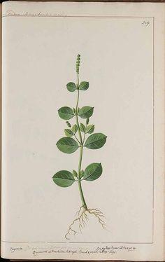basil 272869 Ocimum basilicum L. / Witsen, N., Jager, H. de, Plantae Javanicae pictae, ex Java transmissae anno MDCC, t. 209 (1700)