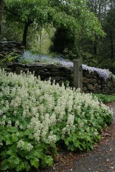 Running Foamflower (Tiarella cordifolia) for the shade garden #shadegardenideas