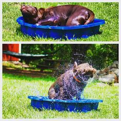 Angus enjoys water wherever it is! #evasplaypupsPA #dogs #dogcamp #playtime #sillypooch #swimtime #swimmingdogs #waterdogs #handsomeman #happytails #shake #dogsinmotion #dogsinnature #runfree #itsadogslife #brooklyndogs #dogdaysofsummer #labsofinstagram #dogsofinstagram #instapup #petportraits #badassbk #adoptdontshop #rescuedog #doggyvacays #doggievacays #dogboarding #endlessmountains #mountpleasant #northeasternpa #PA #pennsylvania