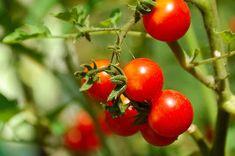 Cherry tomato on bed. Ripe cherry tomato in garden bed close up , Cherry Tomato Plant, Tomato Plants, Backyard Vegetable Gardens, Tomato Garden, Growing Cherry Tomatoes, Dried Tomatoes, Upside Down Plants, Seed Raising, Plant Needs