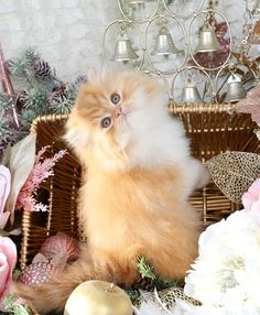 Waldo - Click Here - Ultra Rare Persian Kittens For Sale - (660) 292-2222 - Located in Northern Missouri (Shipping Available)Ultra Rare Persian Kittens For Sale – (660) 292-2222 – Located in Northern Missouri (Shipping  Available)