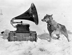 """""""Dog Chris"""" Expédition Terra Nova Antarctique Photo de H G. Ponting  1913"""