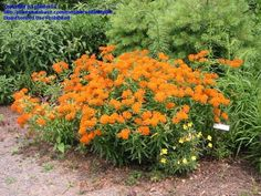 Florida - Native butterfly nectar and host plant (Monarch) - Asclepias tuberosa (Butterfly Milkweed/Weed)