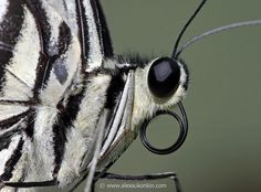 buttrefly-closeup-portrait.jpg - [en]Butterfly closeup portrait. Canon 300D,   Canon 100mm f2.8 macro  USM [ru]Портрет бабочки. Canon 300D,   Canon 100mm f2.8 macro  USM