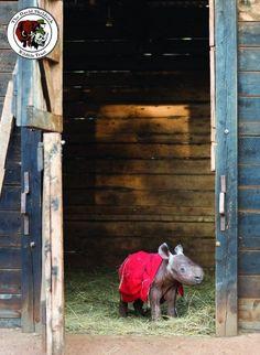 Orphan baby black rhino at the David Sheldrick Wildlife Trust