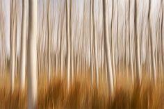 Spring Impressions in a Poplar Fields by DavidFrutos, via Flickr