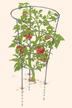 How to Support Tomatoes - Vegetable Gardener