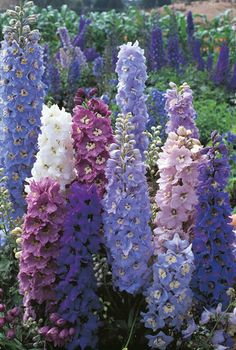 Delphinium Light: Part Sun, Sun Type: Perennial Height: From 1 to 20 feet Width: feet wide Flower Color: Blue, Pink, White Seasonal Features: Summer Bloom Problem Solvers: Deer Resistant Special Features: Cut Flowers, Good for Containers Zones: Delphinium Azul, Delphinium Plant, Delphiniums, Delphinium Bouquet, Bloom, Tall Plants, Zone 5 Plants, Blue Plants, Types Of Plants