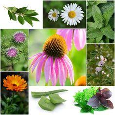 Gewürz Heilpflanzen heilende pflanzen im kräutergarten