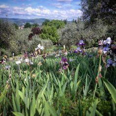 Iris a perdita d'occhio nel meraviglioso Giardino degli Iris di Firenze. Un gioiellino accanto al piazzale Michelangelo aperto ancora per pochi giorni.