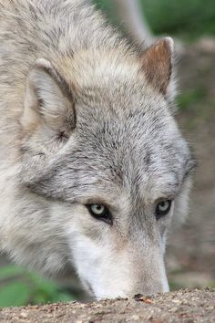 Wolf eyes; they can almost see through you.