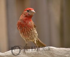 House Finch Pose by Judy M Tomlinson Photography