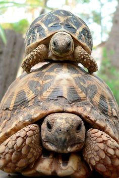 Tortoises and turtles, my favorite reptiles! The Animals, Baby Animals, Funny Animals, Beautiful Creatures, Animals Beautiful, Russian Tortoise, Tortoise Turtle, Baby Tortoise, Sulcata Tortoise