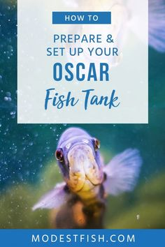 This expert guide to help provide the ideal care and living conditions for Oscars. Including housing, water conditions, breeding, and disease treatment. WordPress Nash's Furever Haus Retirement Home For Senior Oscar Fish, Marine Tank, Fishing For Beginners, Aquarium Supplies, Fish Care, Fish Farming, Pet Care Tips, Aquarium Fish Tank, Happy Animals