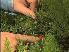 How to Care for an Asparagus Fern. The asparagus fern (Asparagus sprengeri) is a common and fast-growing houseplant. It's called a fern, but is actually a member of the lily family. It has fine needle-like leaves and arching stems that can. Container Gardening Vegetables, Succulents In Containers, Container Flowers, Container Plants, Vegetable Gardening, Asparagus Plant, Asparagus Fern Care, Ferns Care, Fern Plant