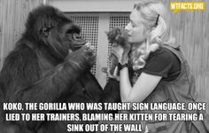 I guess Koko had gotten in trouble before!   Interesting though, I hadn't associated that level of cognitive process to a gorilla.