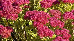 Die Fetthenne wurde 2011 zur Staude des Jahres gewählt. Sie wächst gut im Garten. Viele Sorten sind winterhart. Was für die Pflege der Fetthenne wichtig ist.