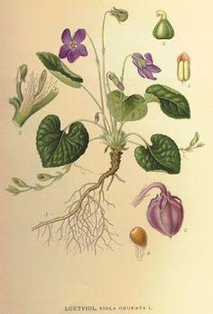 Viletas - Viola adorata - http://esenciaok.blogspot.com.ar/2016/07/plantas-magicas-violetas.html