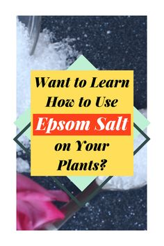Have you ever wondered what you could do with Epsom Salt? Epsom salt is the perfect all-natural fertilizer, learn how to use it today! Follow The Blossoming Gardener on Instagram @/theblossominggardener! #theblossominggardener #gardenblog #blog #gardening #growyourownfood #plants #gardeningforbeginners #epsomsalt #natural #naturalgardening #balconygardening #lazygardening #bathsalts