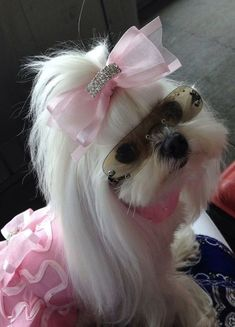Very fashionable Maltese puppy with a pink bow, dress, and sunglasses on. Teacup Puppies, Cute Puppies, Cute Dogs, Dogs And Puppies, Teacup Maltese, Cute Funny Animals, Cute Baby Animals, Animals And Pets, Yorkies