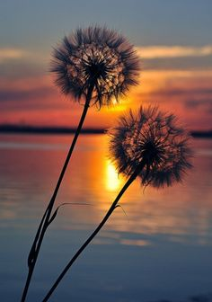 dandelion, colorful, sunset, flower, nature,